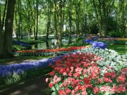 1280px-Tulip_Hà_Lan_8