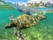 Green-Sea-Turtle-in-Hanalei-Bay-697x465