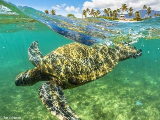 Green-Sea-Turtle-in-Hanalei-Bay-697x465