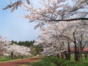 cherrys blooming