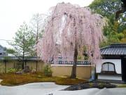 高台寺(春)