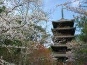 仁和寺(春)
