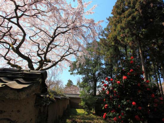 醍醐寺三宝院 しだれ桜と椿