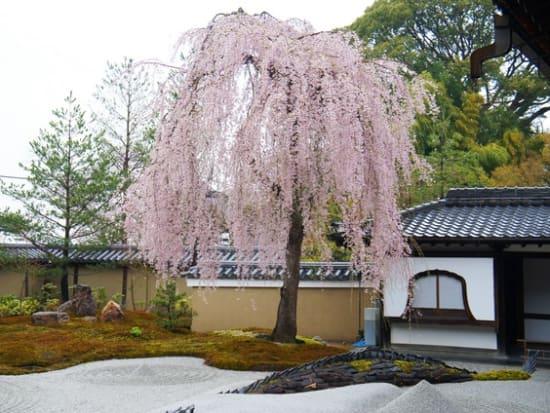 高台寺 枝垂れ桜