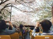 cherry blossom tour tokyo