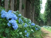 Hydrangea road Since 1891-crop