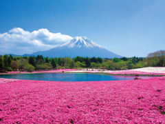 Mt. Fuji and shibazakura flowers