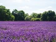lavender field furano