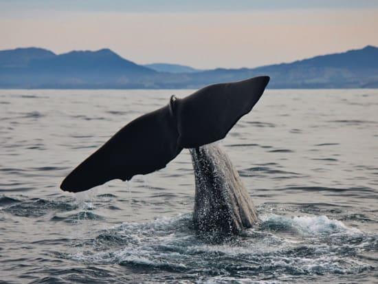 Semi-resident sperm whale - MatiMati