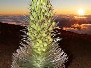USA_Hawaii_Silversword-Plant