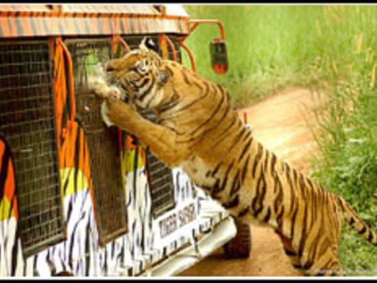 Zoobic Tigar