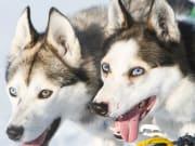 huskies, dog sledding, norway, tromso