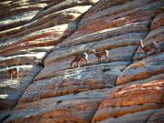 USA_Utah_Zion National Park_goat