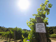 Coppola_Vineyard_joshuasingh_flickr