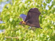 Flying foxes_shutterstock_437888062