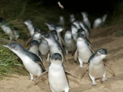 Phillip Island's nightly Penguin Parade