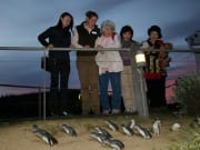 Phillip_Island_Penguin