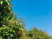 Longan orchards_shutterstock_510974182