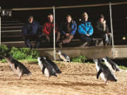 Penguin_Parade_and_Phillip_Island (4)