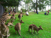 Kangaroos at Lone Pine Sanctuary