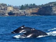 sydney harbour whale (8)