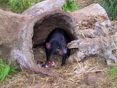 Bonorong Wildlife Park Tasmanian Devil