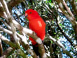 Native Rosella in Lamington