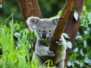 Koala_shutterstock_96727474