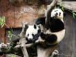 ocean park hong kong pandas hugging a tree