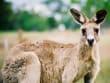 Wallaby sighting