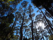 Eucalypt Forest_368531318