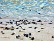Turtle Hatchlings_shutterstock_156829094