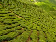 cameron highlands (5)