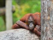 lok kawi wildlife park orangutan