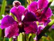 Orchid & Hibiscus Gardens (10)