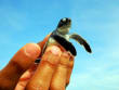 satang island baby turtle conservation area
