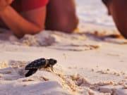 baby turtle satang island white sand beach
