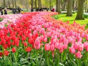 tulips keukenhof garden