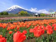 Fuji tulip fields