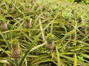 Pineapple plantation in Tagaytay philippines
