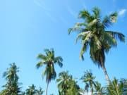 モルディブココナッツツリー