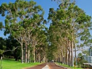 Lines of trees in Kings Park and Botanic Gardens