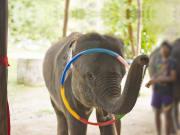 Elephant show_239585701