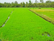 mekong delta rice paddy_430487830