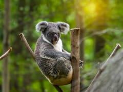 koala_557228812