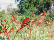 wildflowers-from-perth-western-australia-1024x768