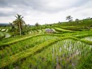 Jatiluwih rice fields_shutterstock (1)