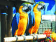 USA_Florida_Miami Seaquarium Macaw