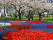 Keukenhof park 6 - Cherry Blossom