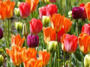 Keukenhof park flowers